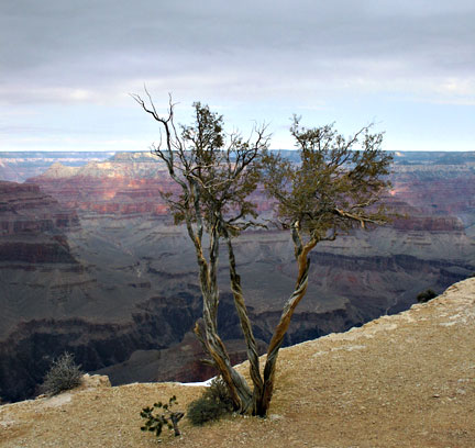 Twisted pinyon pine on scenic viewpoint on south rim of Grand Canyon