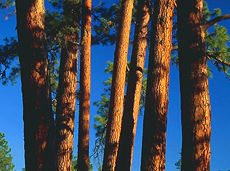 Old Growth Trees Spiked By Eco Warriors In Oregon To Stop Logging